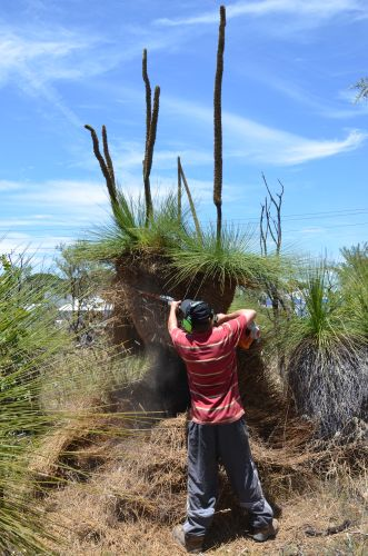 arend Prunning Grass Tree 2
